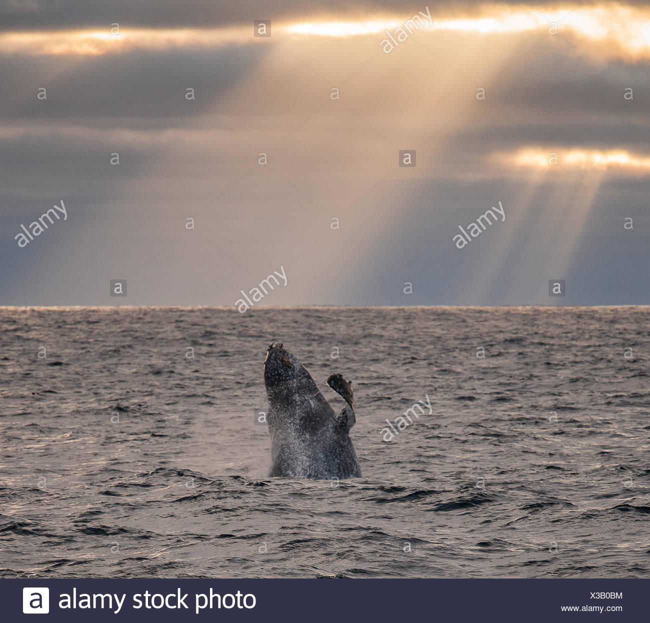A humpback whale, Megaptera novaeangliae, breaching under rays of sunlight. - Stock Image