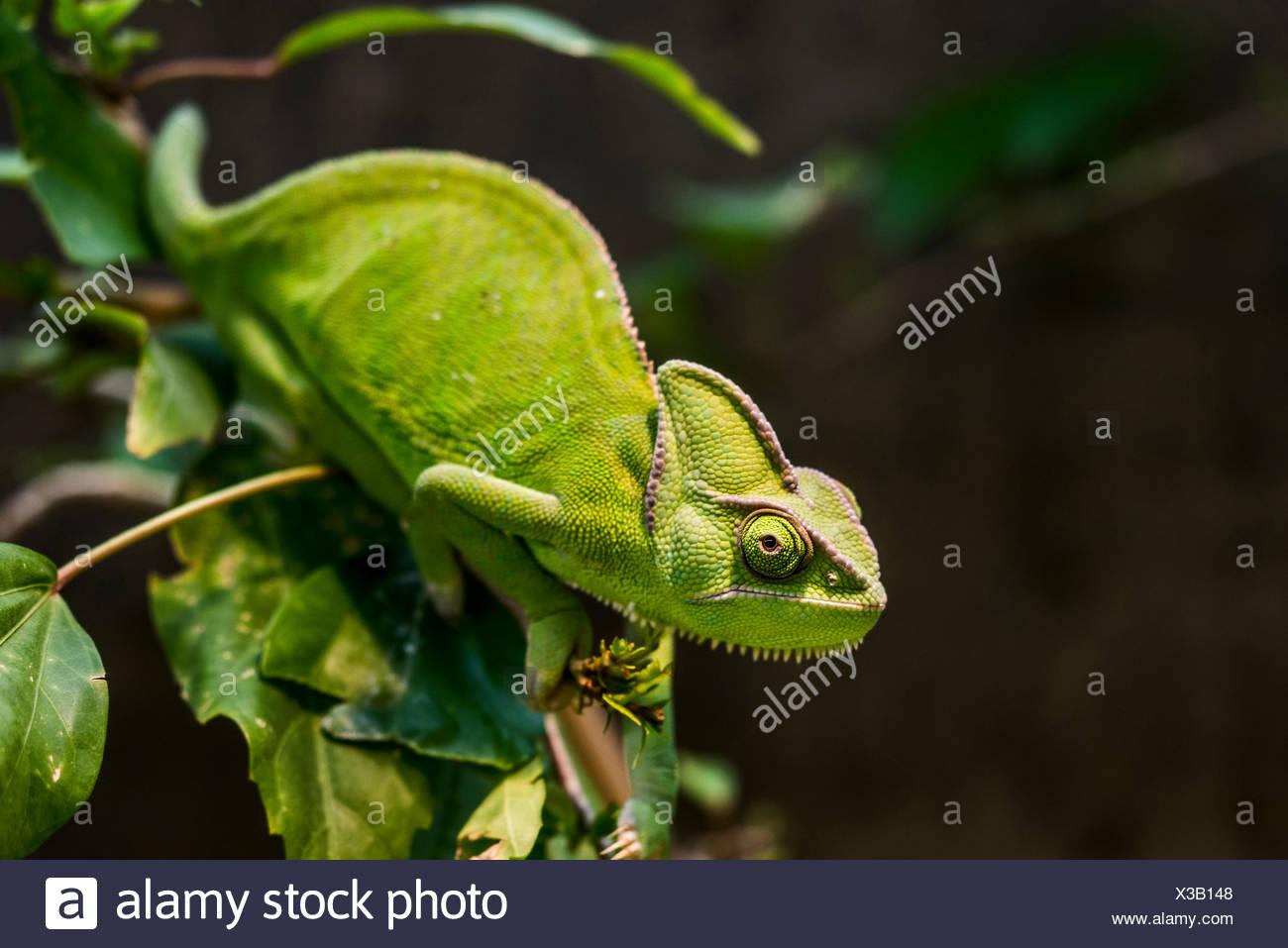 Yemen Chameleon or Veiled Chameleon (Chamaeleo calyptratus), Wilhelma Zoo and Botanical Garden, Stuttgart, Baden-Württemberg - Stock Image