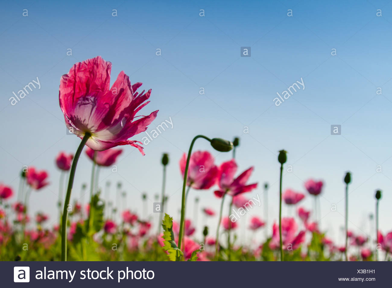 Opium poppy field Stock Photo