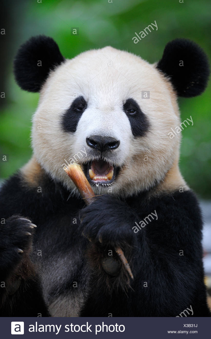 Head portrait of Giant panda (Ailuropoda Melanoleuca) feeding on bamboo. Bifengxia Giant Panda Breeding and Conservation Center, Yaan, Sichuan, China. - Stock Image