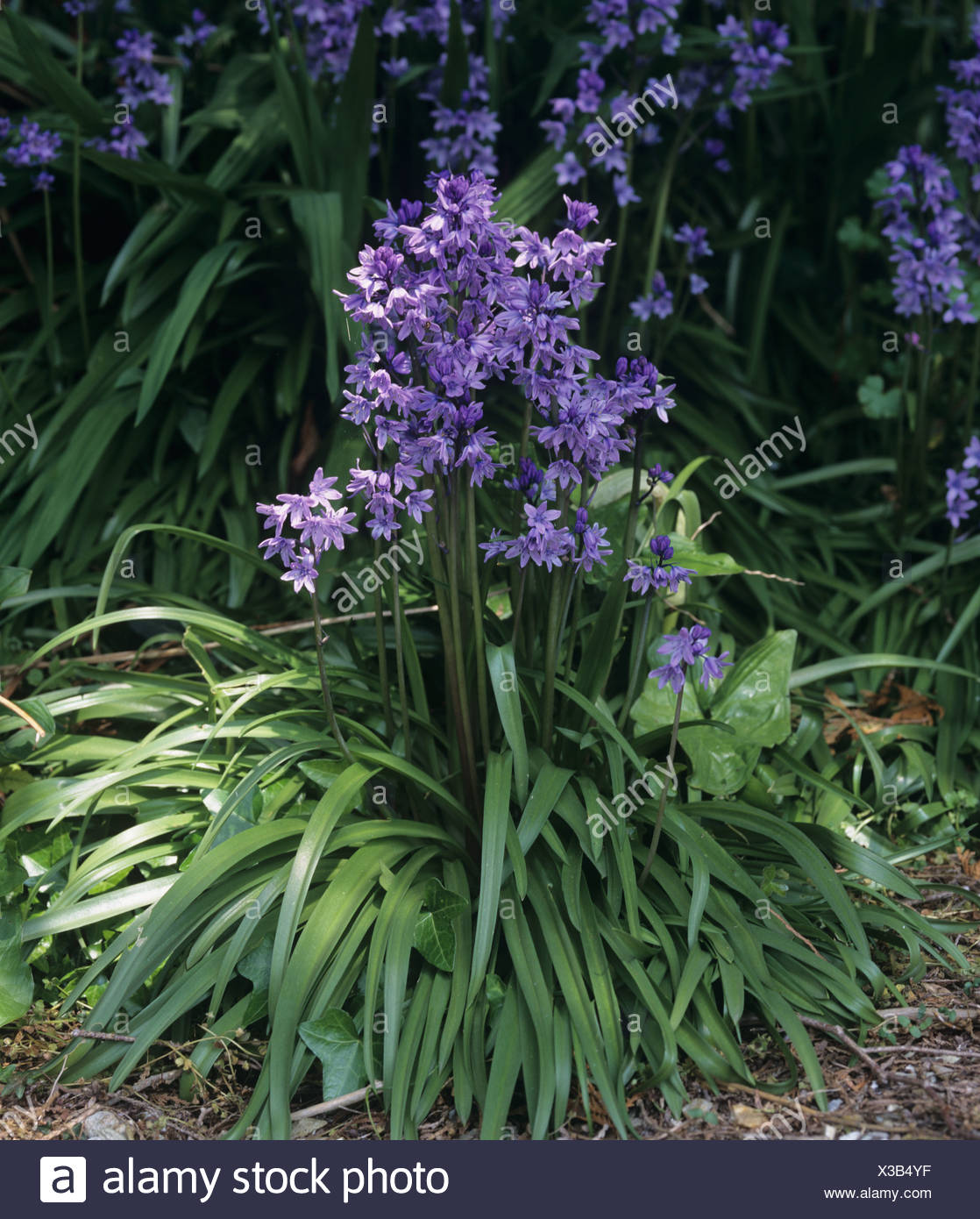 A flowering plant group of Spanish bluebells Hyacinthoides hispanica Stock Photo