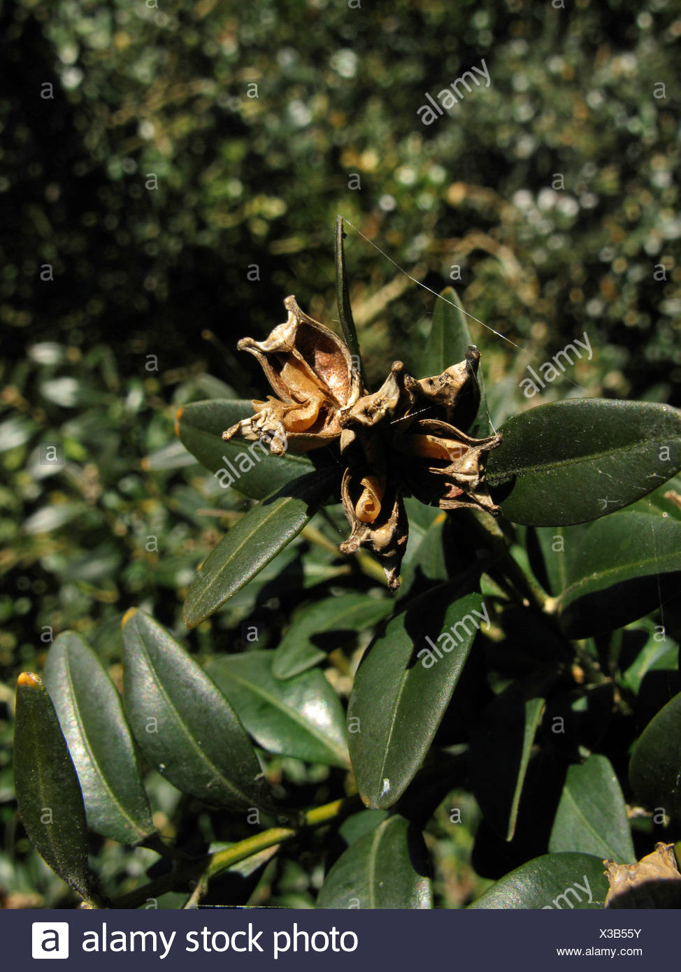 common box, boxwood (Buxus sempervirens), fruits on a branch, Germany, Baden-Wuerttemberg Stock Photo