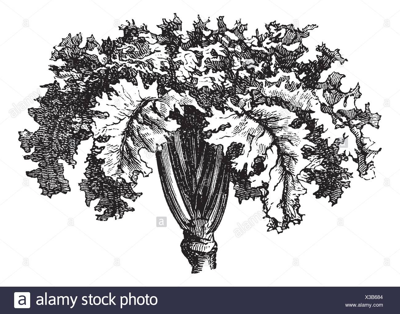 Rutabaga or Swedish Turnip or Yellow Turnip or Brassica napobrassica, vintage engraving  Old engraved illustration of a Rutabaga - Stock Image