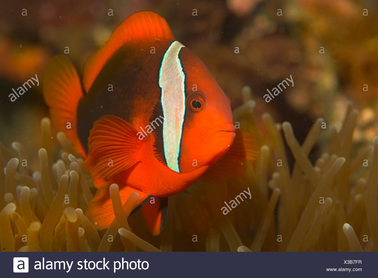 Bridled anenome fish, Amphiprion frenatus. - Stock Image