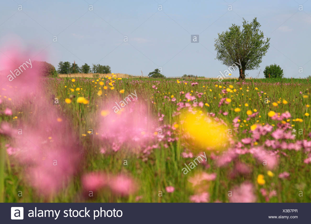 Wet peatland with Ragged Robin and Meadow Buttercup. - Stock Image