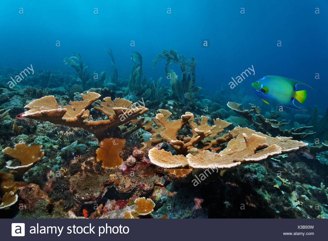 Coral reef, fish, fused Staghorn Coral (Acropora prolifera), Queen Angelfish (Holacanthus ciliaris), Little Tobago, Speyside - Stock Image