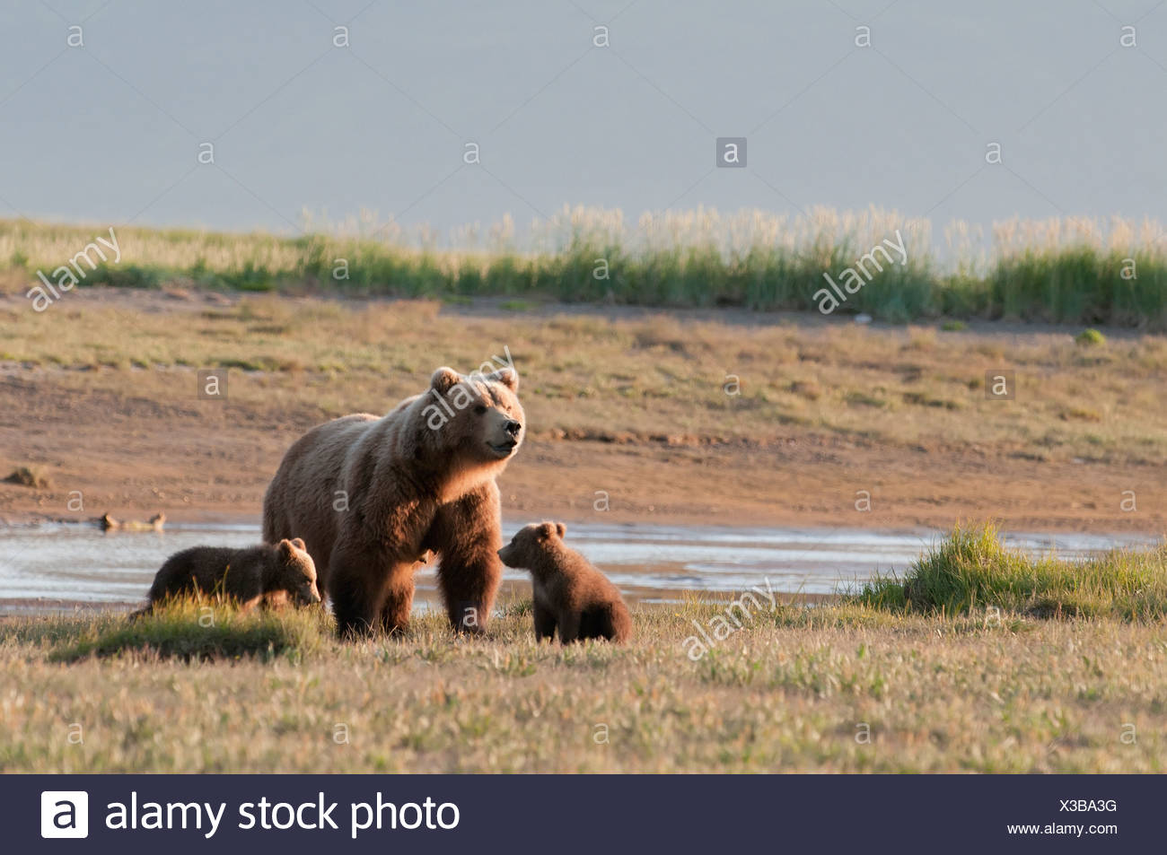 A Grizzly Bear (Ursus Arctos Horribilis) With Two Cubs Crossing The River; Alaska, United States Of America - Stock Image