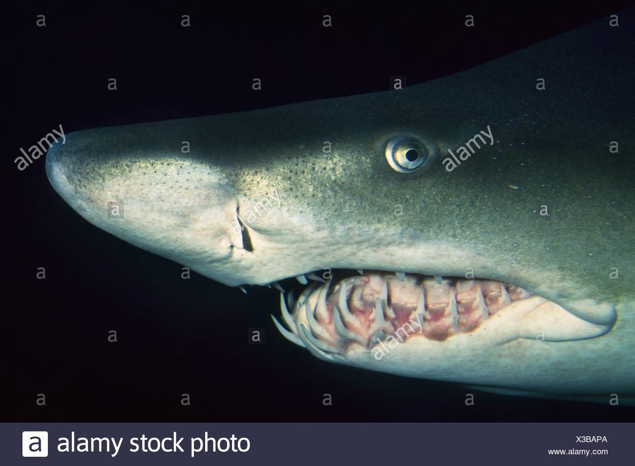 Vancouver Aquarium British Columbia Canada Sand tiger shark Carcharias taurus Vancouver - Stock Image