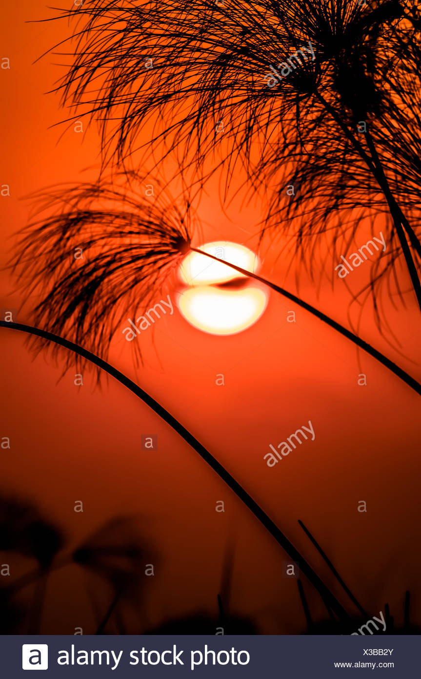 Sunsetting behind papyrus - Stock Image