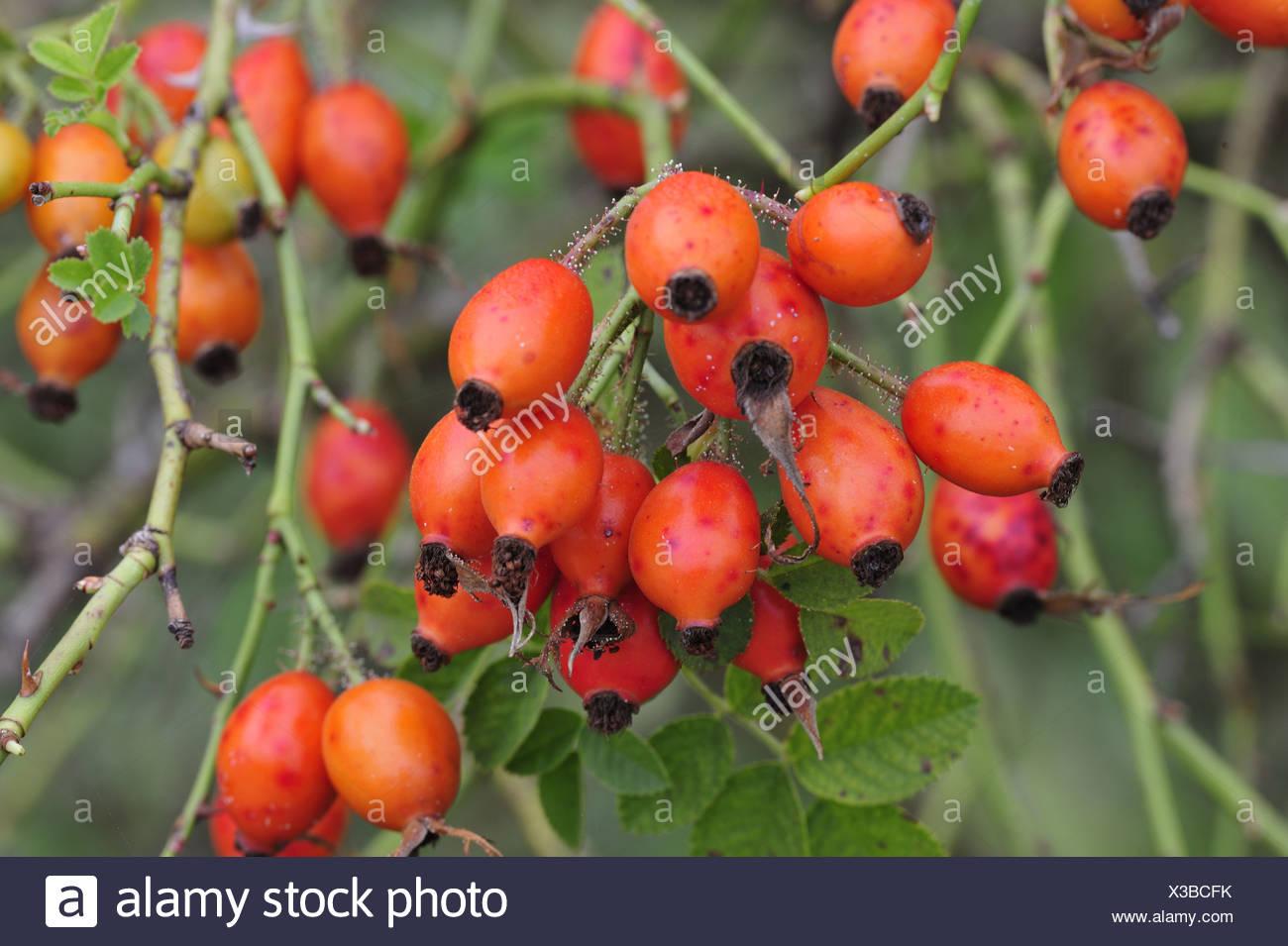 Wild roses, dog-rose, rose, Rosaceae, hip, haw, plant, fruits, Damphreux, Ajoie, Canton, Jura, Switzerland - Stock Image
