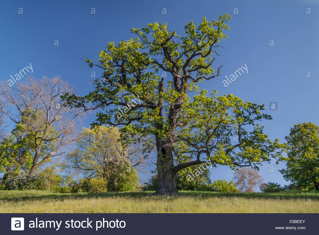 Old Pedunculate Oak tree (Quercus robur) in the landscaped park of Schloss Ettersburg Castle, Weimar, Thuringia, Germany - Stock Image