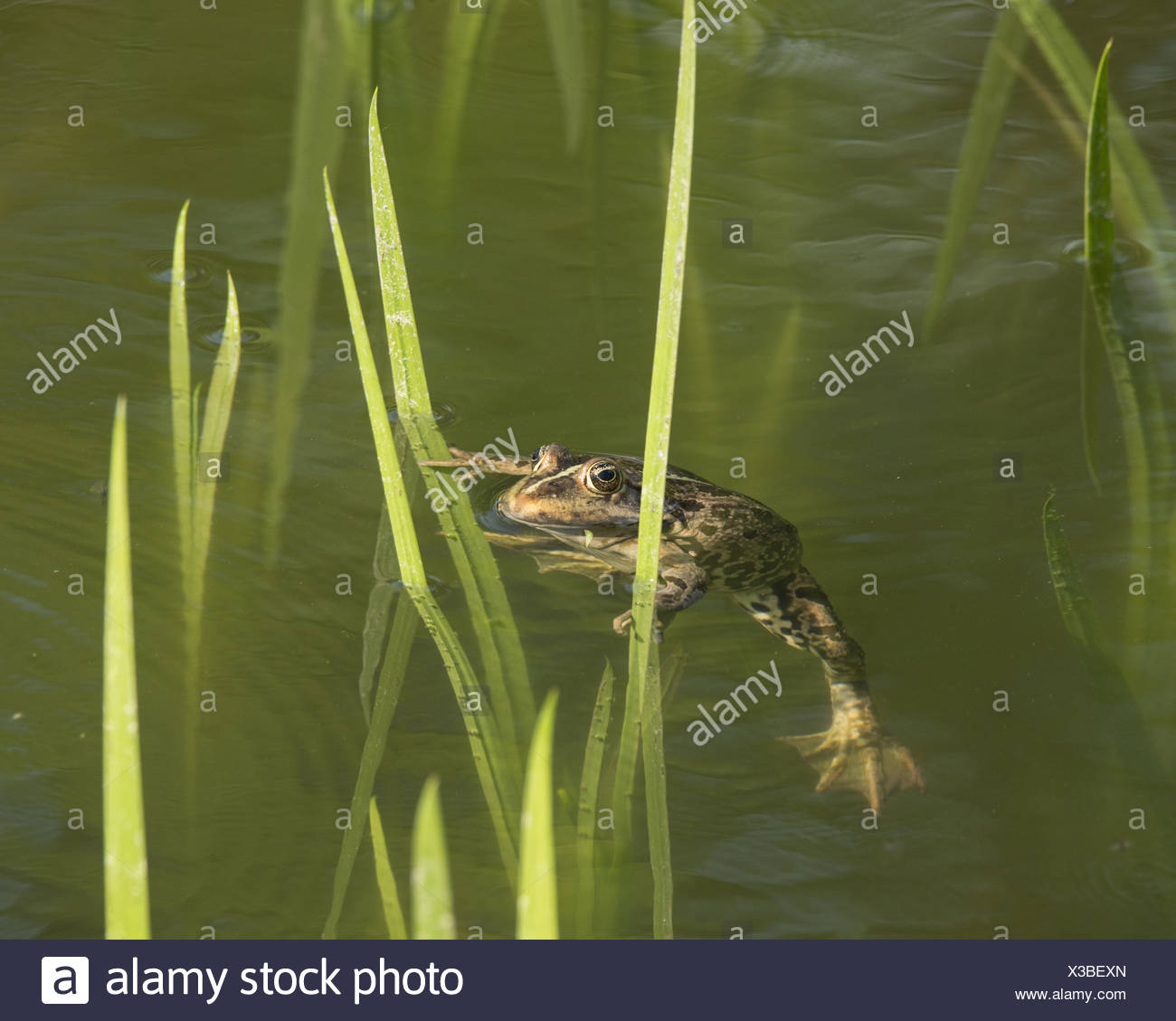 Edible frog, also common water frog or green frog (Rana esculenta) swimming between stalks, North Rhine-Westphalia, Germany - Stock Image