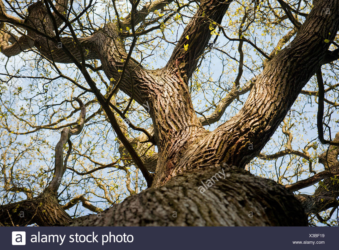 LOW ANGLE VIEW BELOW OLD TREE - Stock Image