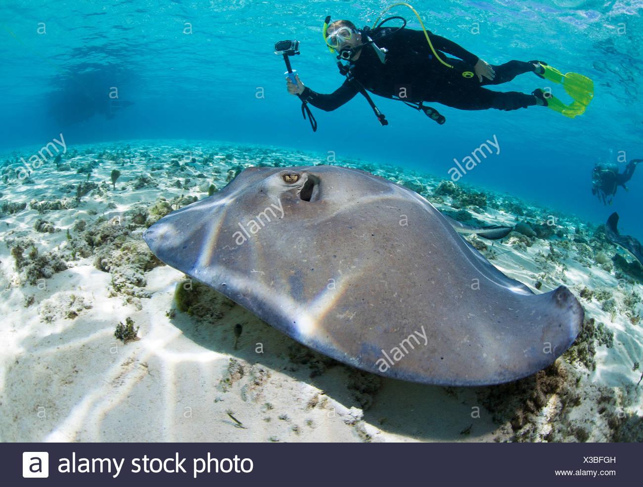 Diver observes stingray. - Stock Image