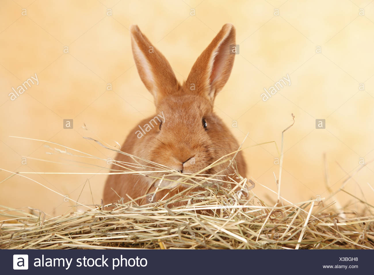 Neuseeländer / rabbit Stock Photo
