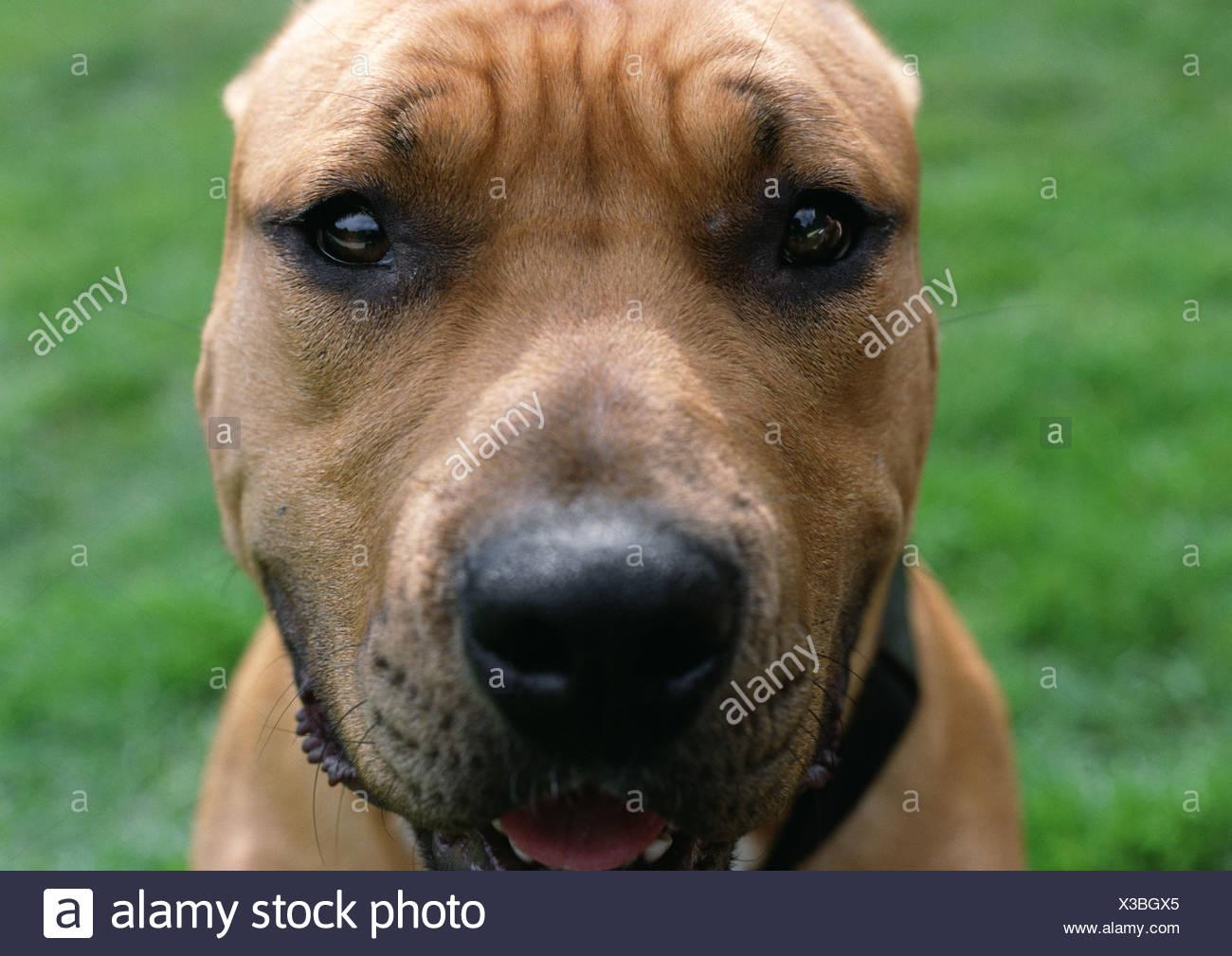 Dog with wrinkled brow, face. - Stock Image