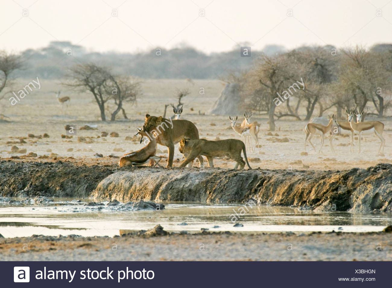 Hunting Lioness (Panthera leo) with cups and a killed springbok (Antidorcas marsupialis), Nxai Pan, Makgadikgadi Pans National  - Stock Image