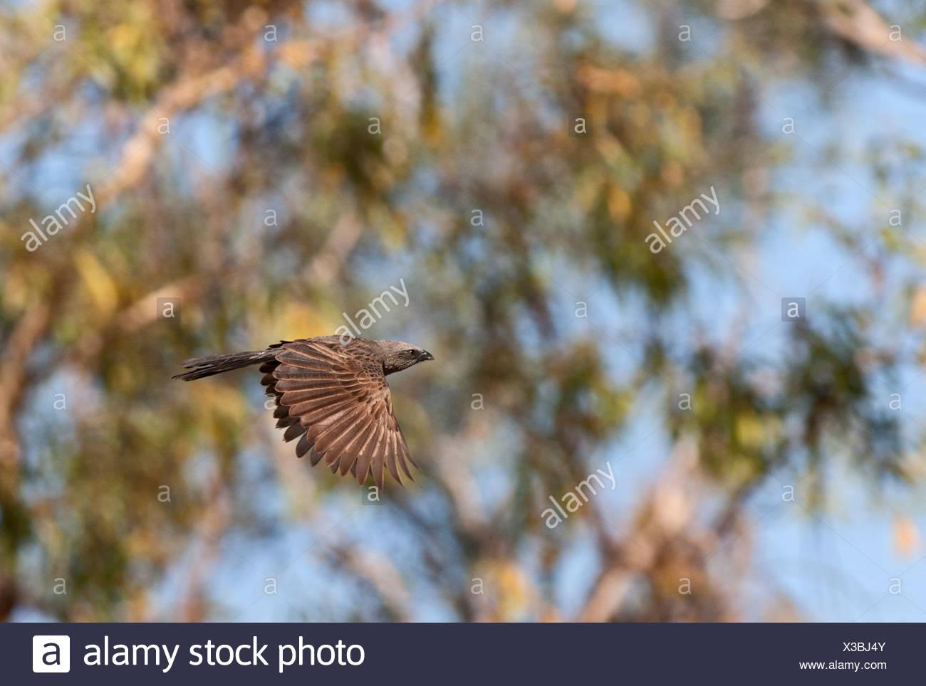 Apostlebird Struthidea cinerea Queensland Australia - Stock Image