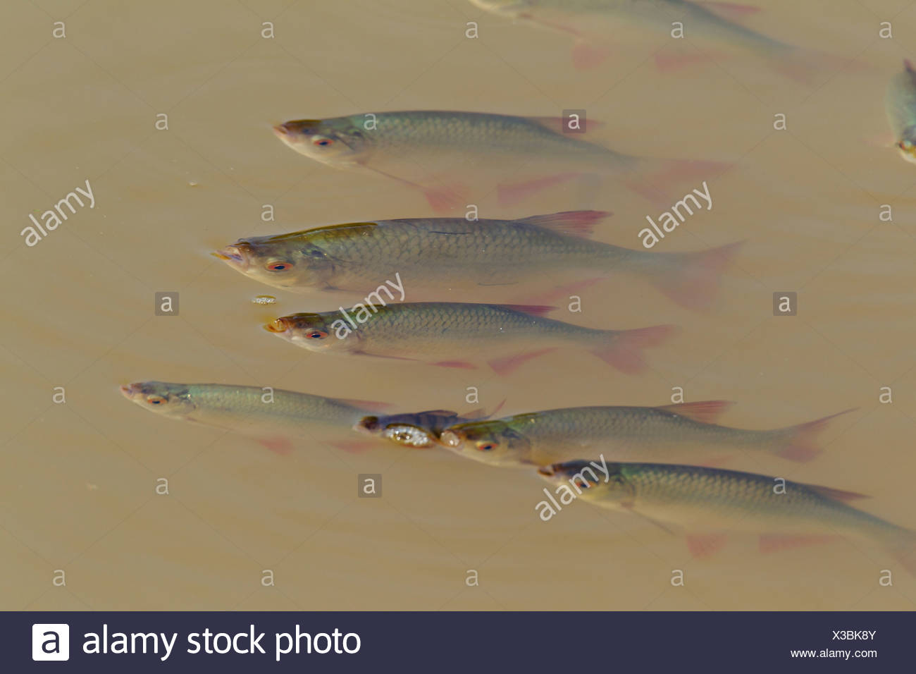 rudd (Scardinius erythrophthalmus), school at water surface, Germany, Saxony Stock Photo