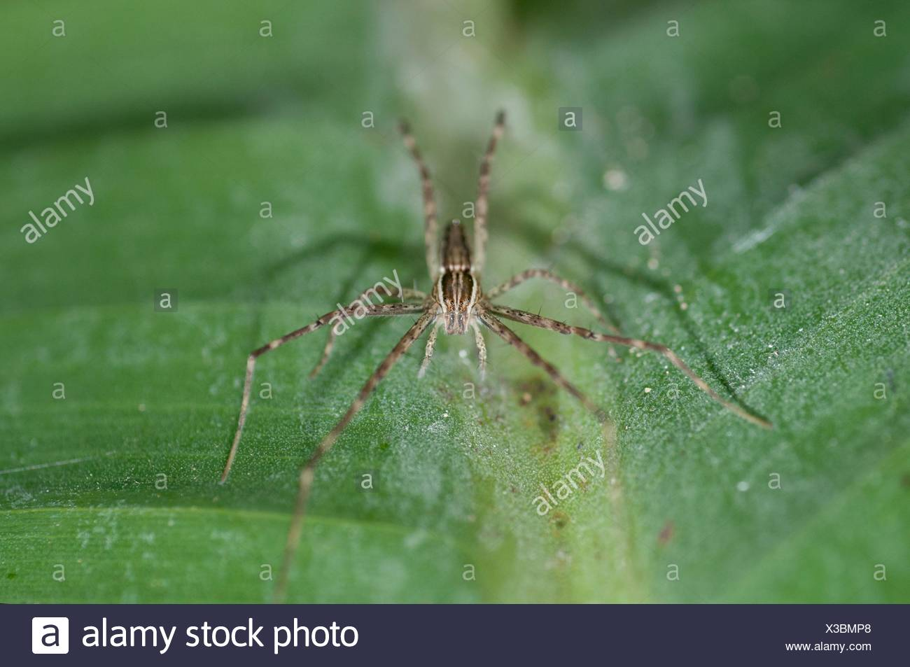 Nursery Web Spider (Araneae order, Pisauridae family) on leaf, Klungkung, Bali, Indonesia. - Stock Image