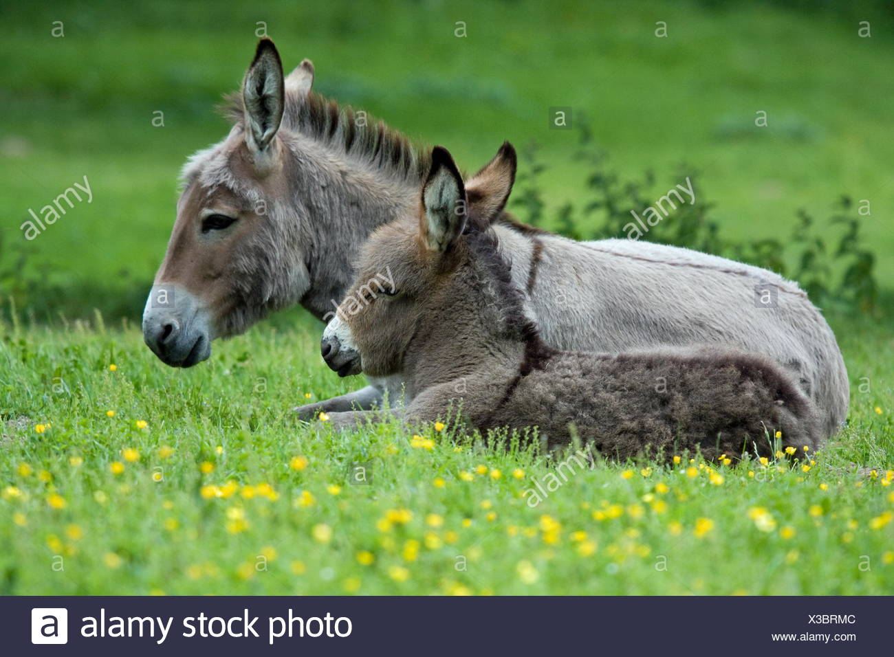 donkey young - Stock Image