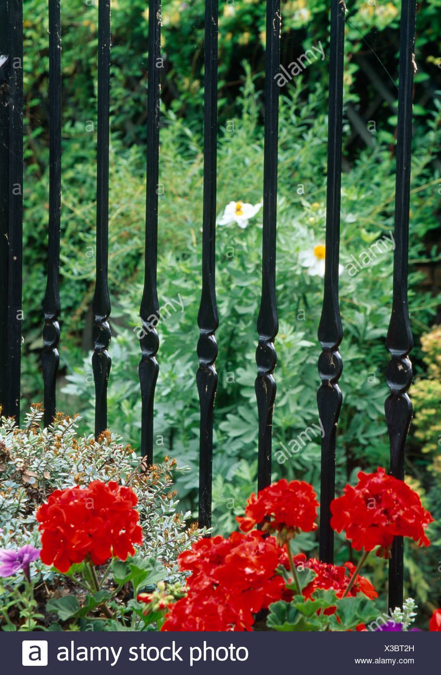 Red geraniums growing in border in front of black cast-iron railings in small garden - Stock Image