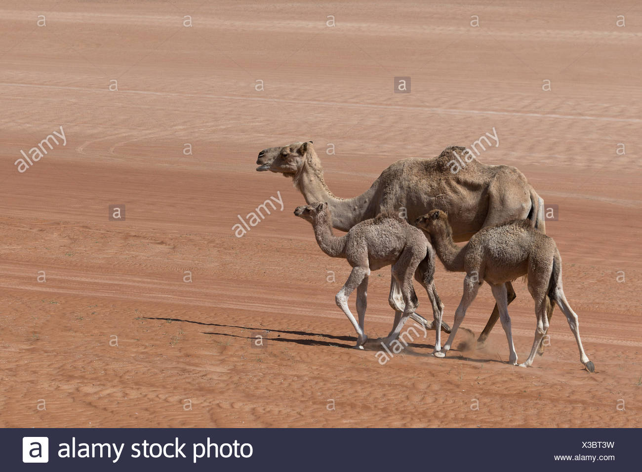 Dromedary (Camelus dromedarius), with young animals, in the desert, Wahiba Sands, Oman Stock Photo