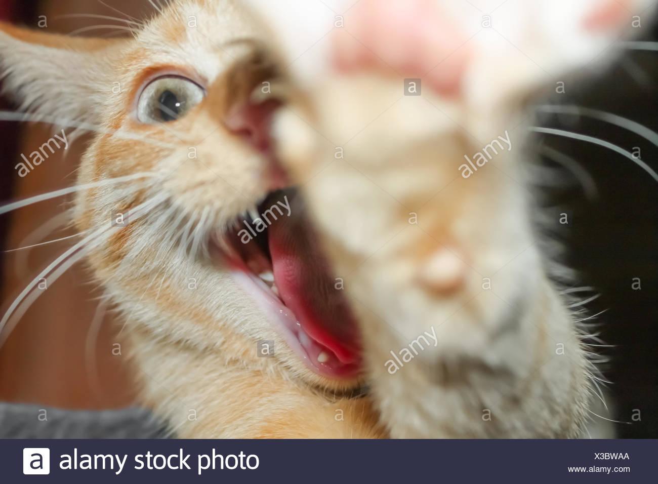 Yawning cat - Stock Image