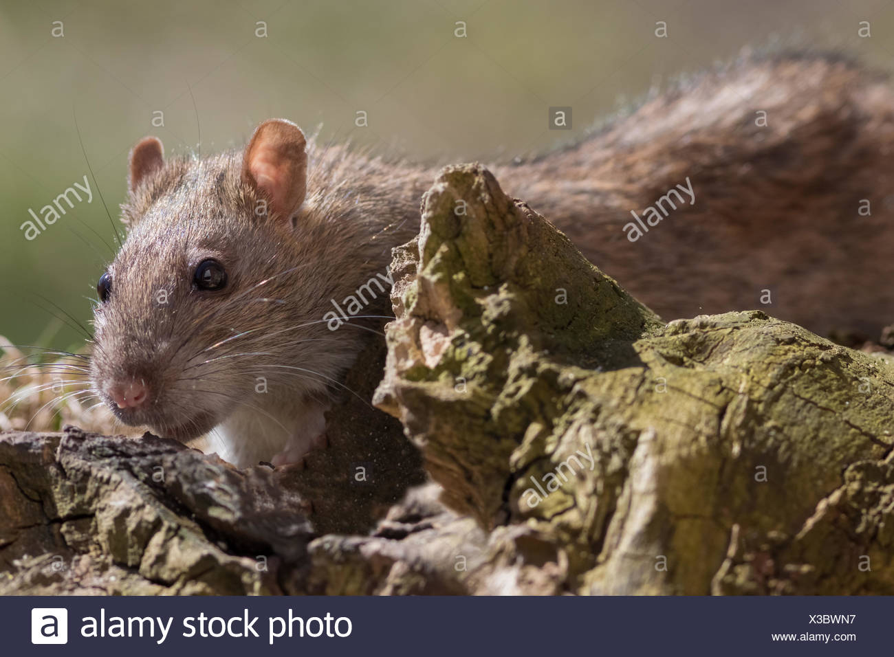 Rat foraging - Stock Image