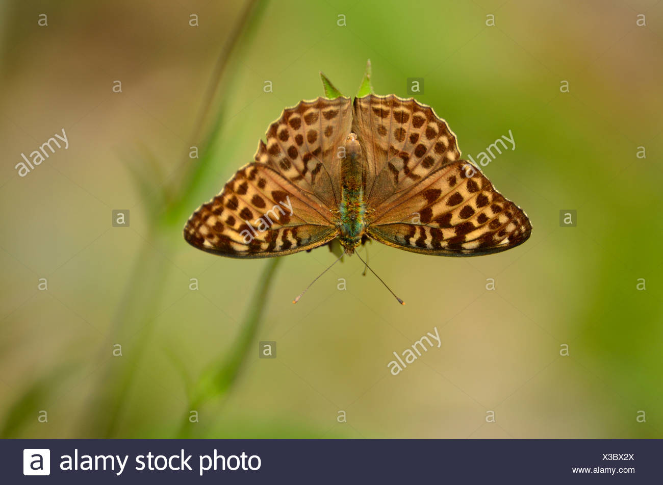 Silver-washed Fritillary Argynnis paphia Nymphalidae female butterfly inscet animal Untervaz Canton Grisons Switzerland Europe - Stock Image