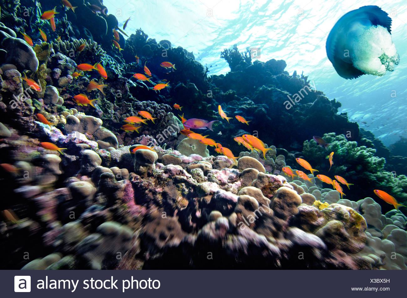 Middle East Egypt Red Sea, Basslets Anthiinae, Digital Composite> Jellyfish - Stock Image