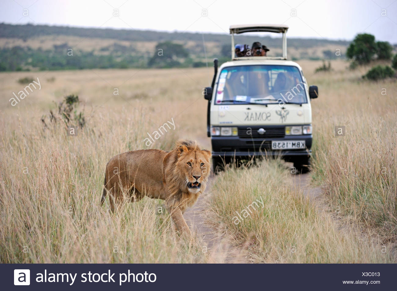 Lion (Panthera leo), male, in front of a safari vehicle, Masai Mara National Reserve, Kenya, East Africa, Africa - Stock Image