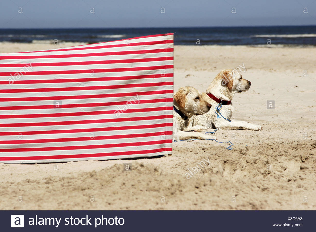 Beach, dogs, Retriever, lies, windbreak, red-know-striped, animals, two, pets, religiously, obedience, allows, dog-beach, sandy beach, sea, heavens, vacation, cloudless, human-empty, recuperation, strips, roved, red-knows, - Stock Image
