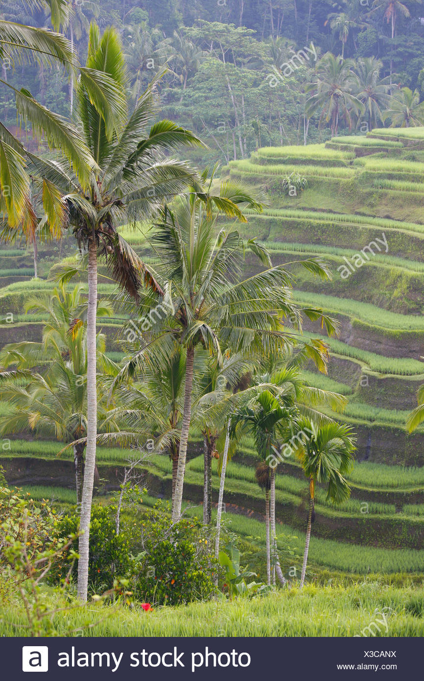 Rice fields, Tegal Lalang, in the morning light, Bali, Republic of Indonesia, Southeast Asia - Stock Image