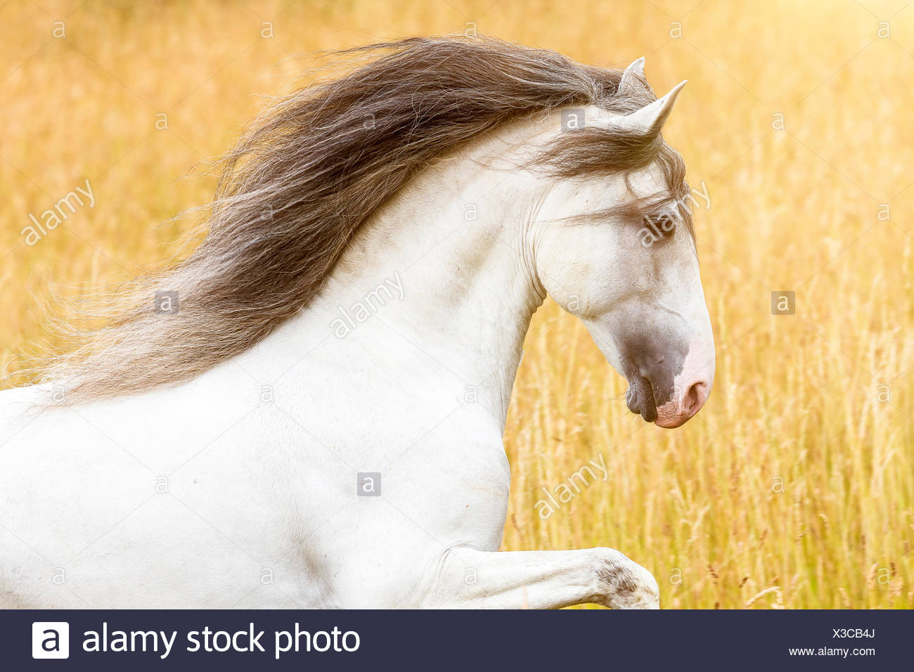 Lusitano. Portrait of gray stallion with mane flowing. Germany - Stock Image