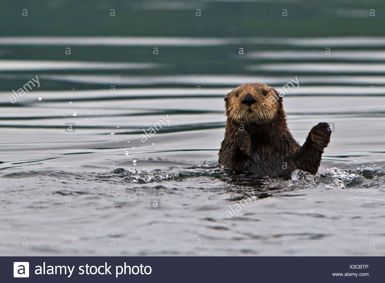 Sea otter Enhydra lutris belongs to the weasel family photographed the west coast northern Vancouver Island British Columbia - Stock Image