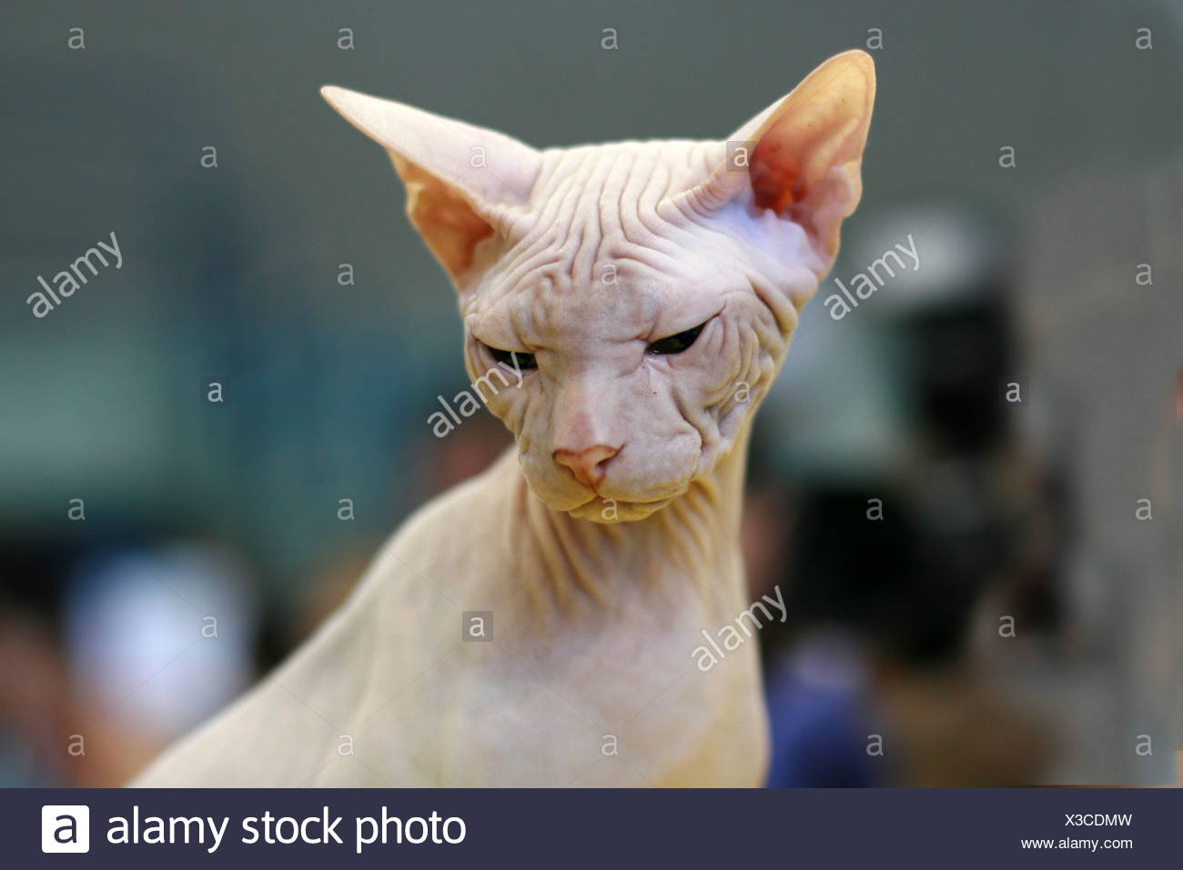 Pedigree Cat - White Sphynx Hairless cat also known as Canadian Hairless - Stock Image