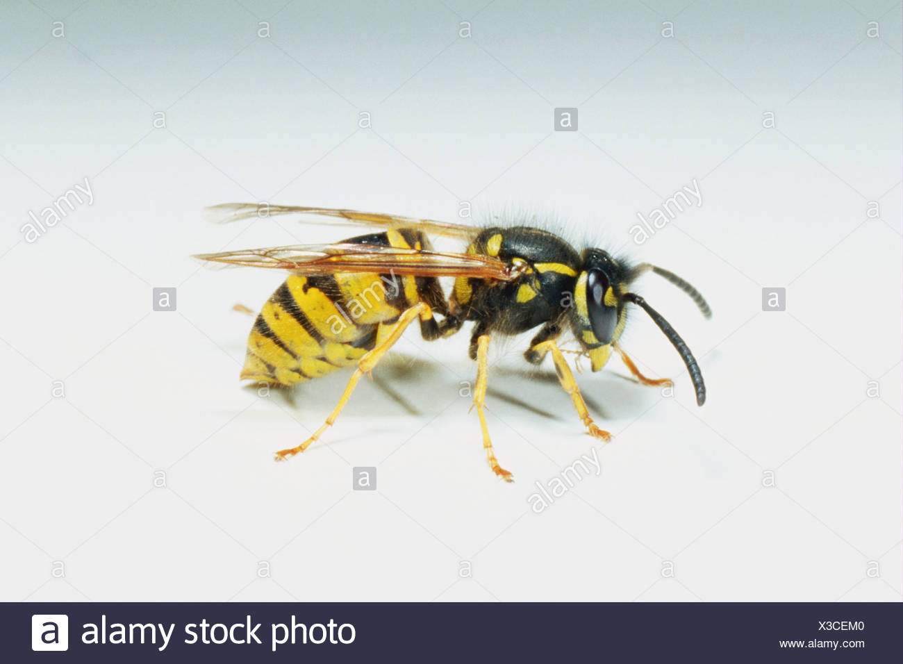 Profile of wasp - Stock Image