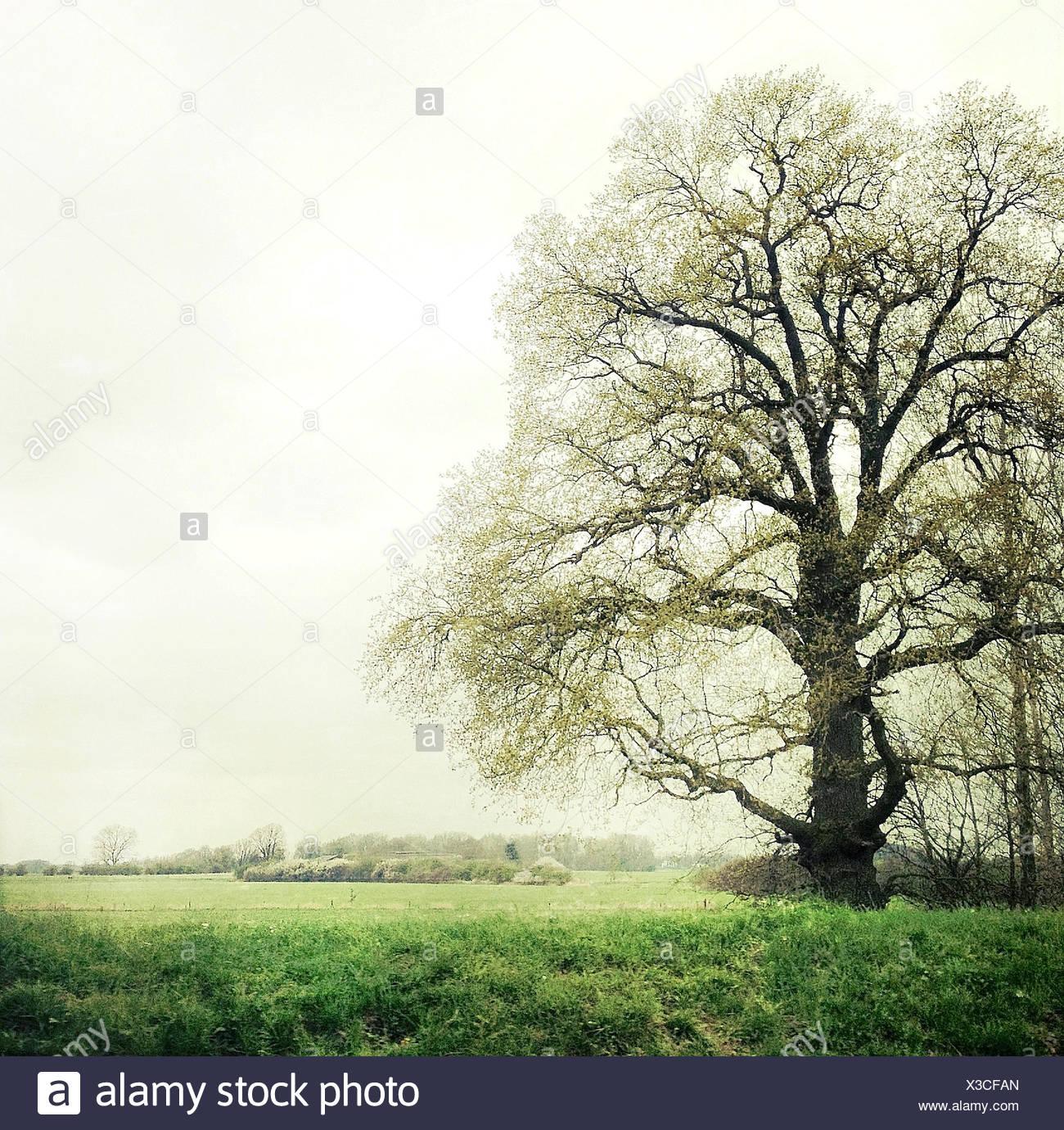 Large tree on field - Stock Image