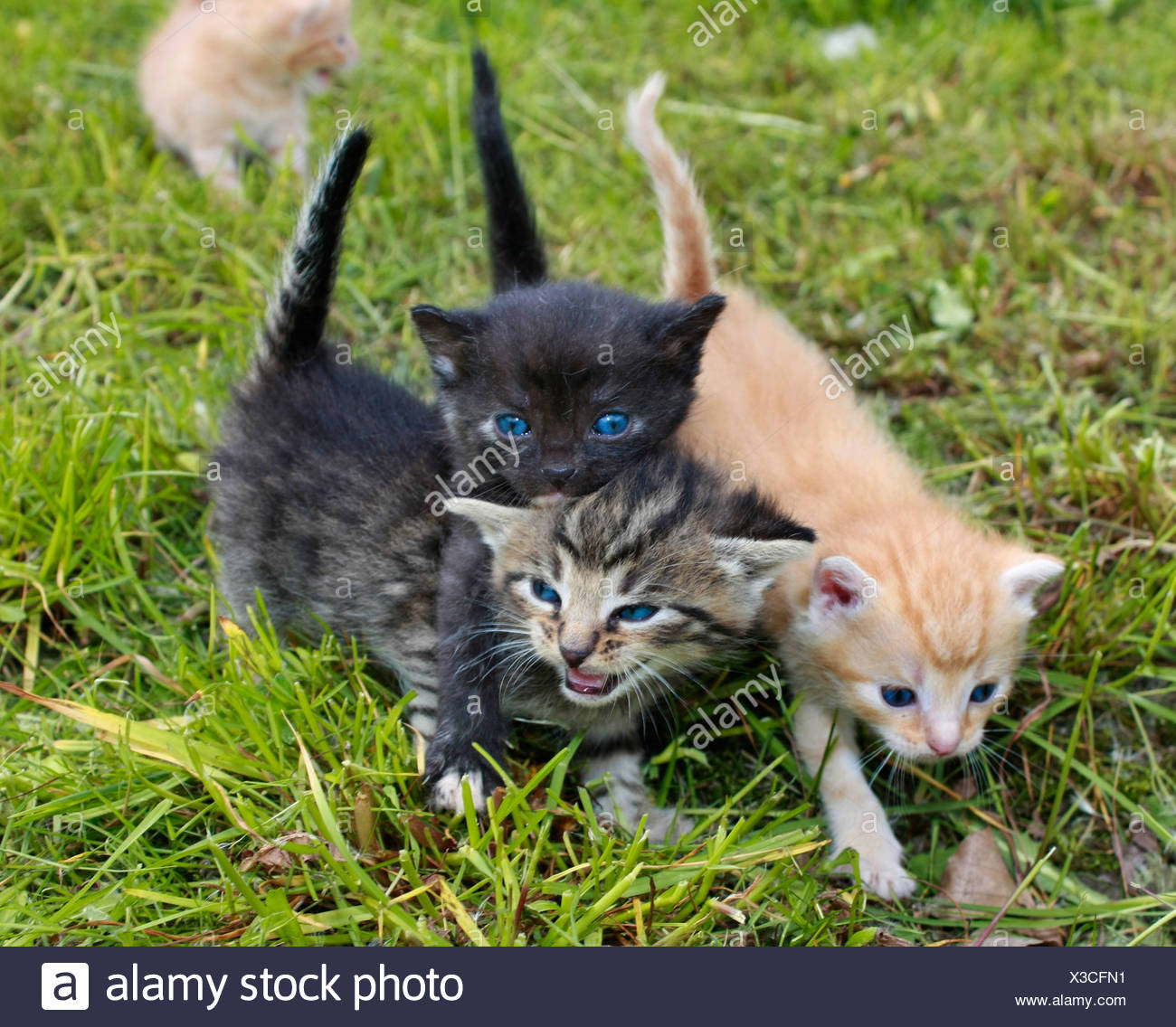 domestic cat, house cat (Felis silvestris f. catus), four kitties on meadow - Stock Image