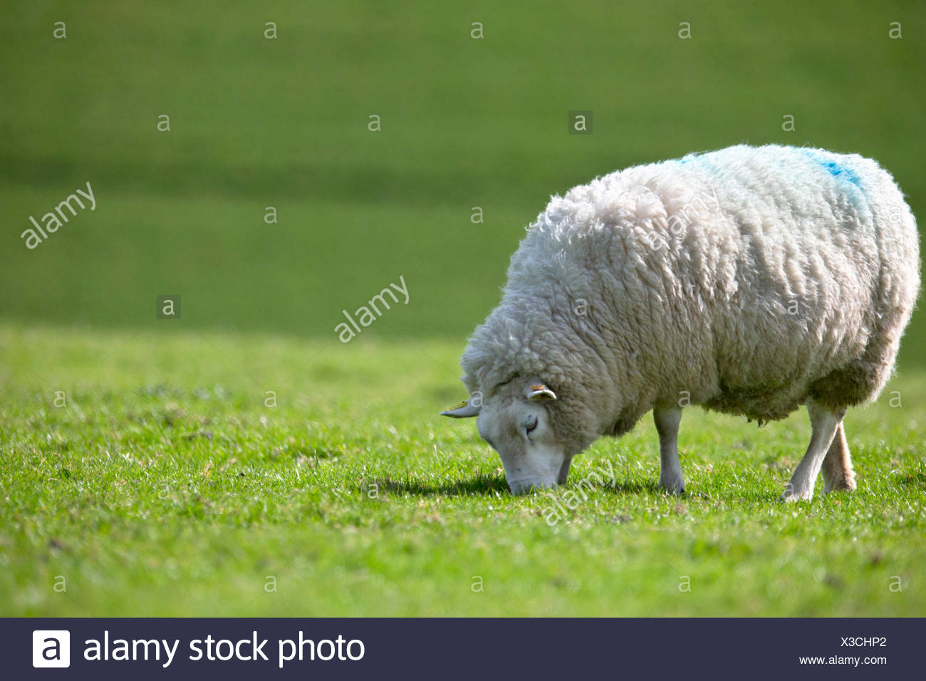 Sheep grazing in sunny green summer field - Stock Image