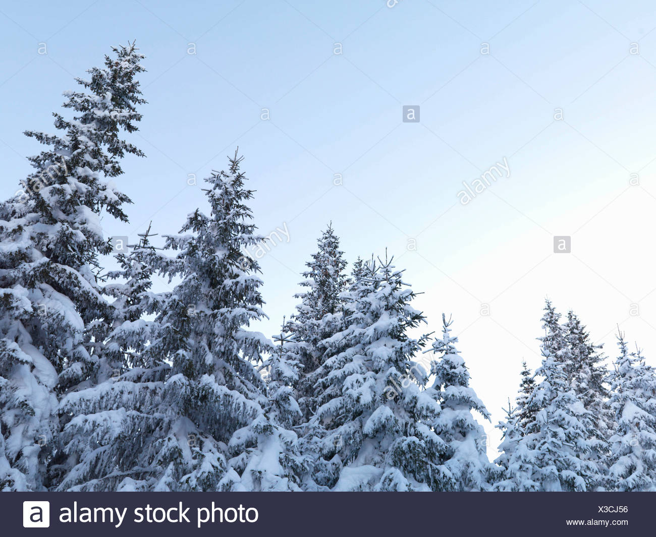 Snow-covered pine trees - Stock Image