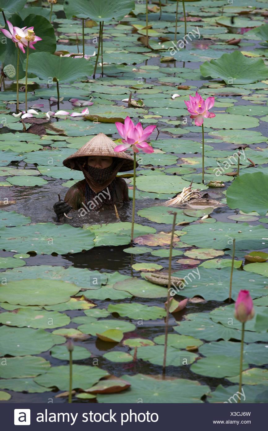 Vietnamese Lotus Flowers Stock Photos Vietnamese Lotus Flowers