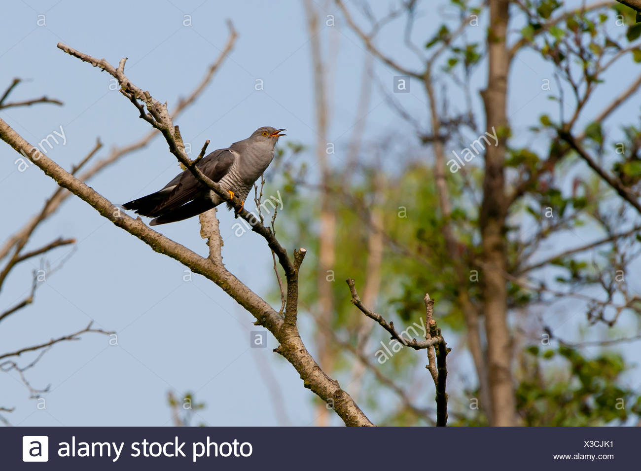 Eurasian cuckoo (Cuculus canorus), calling male, Germany - Stock Image