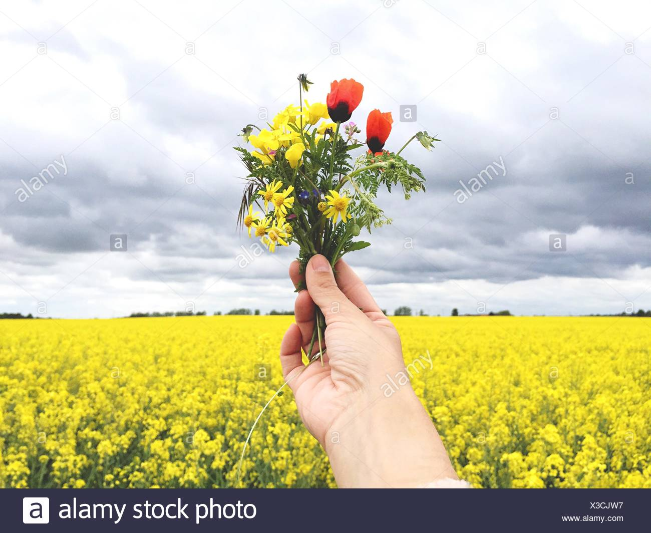 Cropped Hand Holding Multi Colored Flowers Against Raps Field - Stock Image
