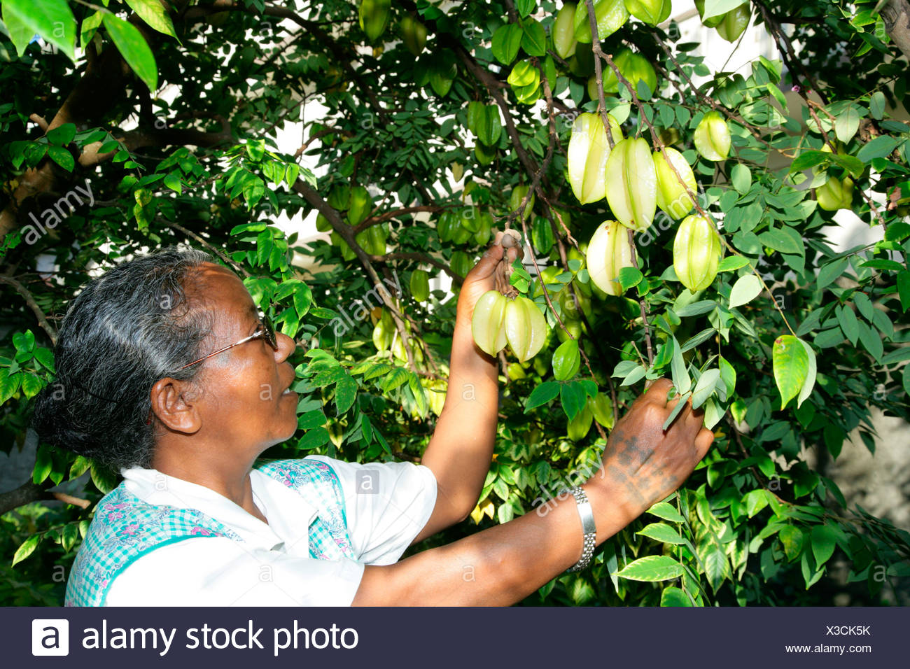 Woman harvesting starfruit (Averrhoa carambola) at an Ursuline convent and orphanage in Georgetown, Guyana, South America Stock Photo