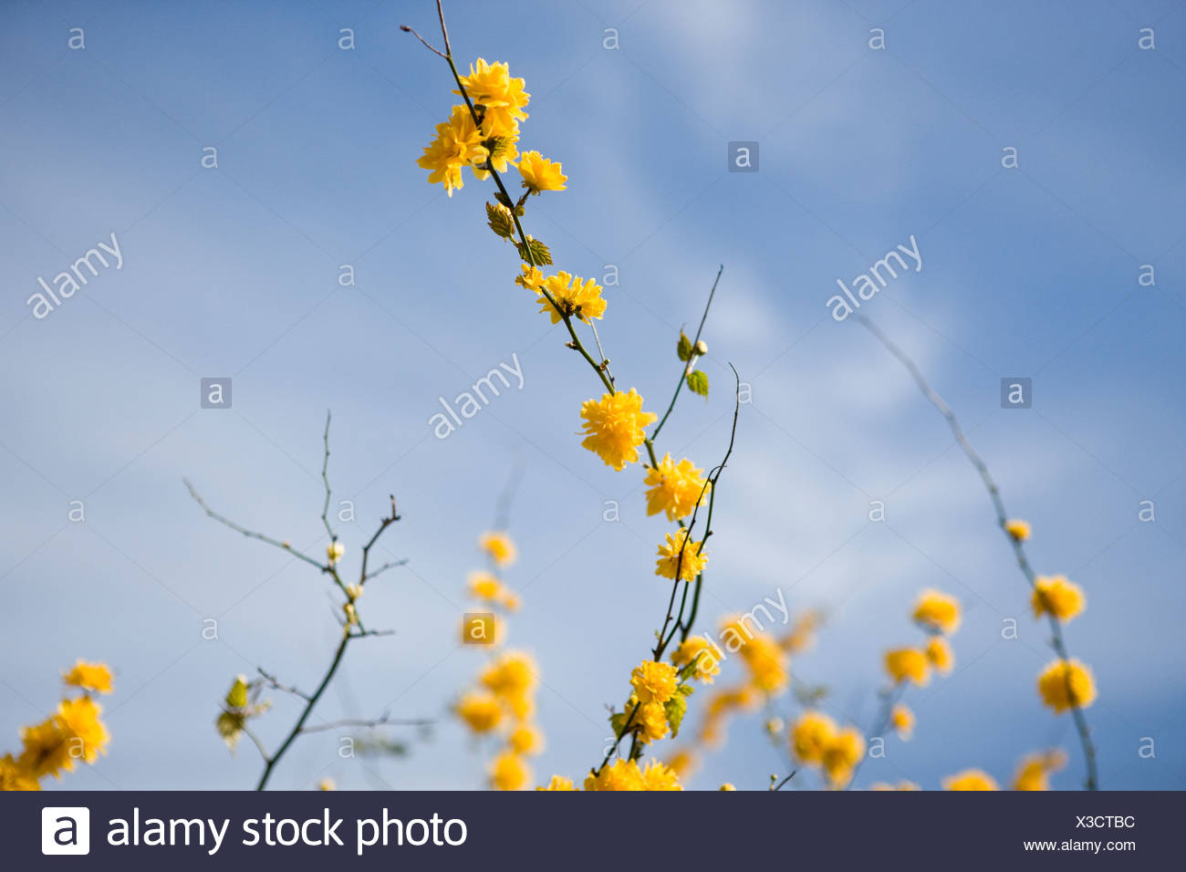 Branches Of Kerria Japonica With Yellow Flowers In Spring Stock