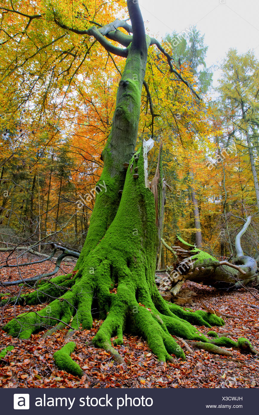 Old Tree in Autumn - Teutoburg Forest, Germany - Stock Image