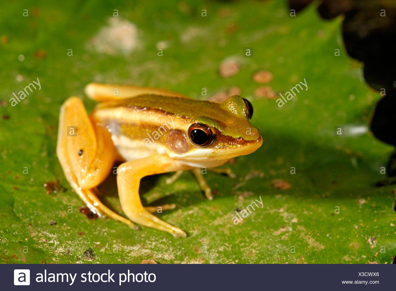 photo of a green paddy frog - Stock Image