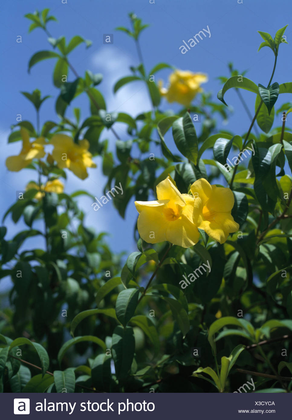 Close Up Of The Yellow Flowers Of An Exotic Shrub Stock Photo